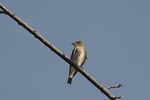 Olive-sided Flycatcher in May on spring migration.  