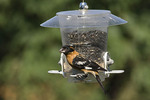 Male Black-headed Grosbeak eating sunflower seeds at feeder in mid July. 