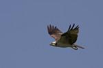 Osprey in flight in late July.