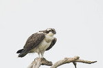 Juvenile Osprey perched above the nest in late July.
