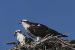 Juvenile, at left, and adult female Ospreys at nest in April.