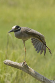 Adult Yellow-crowned Night-Heron stretching.