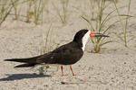 Black Skimmer in early August.