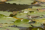 Hatch year Spotted Sandpiper walking on lily pads in early August.