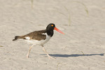 American Oystercatcher walking along the beach in early August.