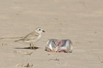 Immature Piping Plover with litter. Atlantic coastal populations of the Piping Plover are threatened.
