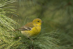 Male Pine Warbler in early October on fall migration.
