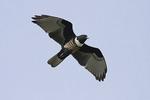 Black Baza on fall migration in late October.