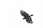 Crested Serpent-Eagle on spring migration in late February on spring migration.