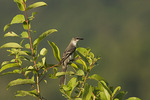 Ashy Minivet in late October on fall migration.