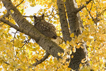 Great Horned Owl roosting in a in Ginkgo in November.