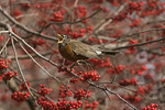 Male American Robin eating a Hawthorn berry in early December.