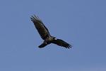 Fish Crow in Flight in flight in mid November.