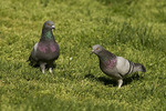 Rock Pigeon pair on lawn in April. Male, at left, displaying to female.