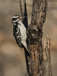 Female Hairy Woodpecker in late December.