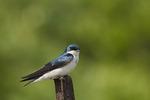 Tree Swallow in early June.