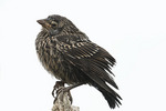 Fledgling Red-winged Blackbird in late July.