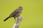 Juvenile Red-winged Blackbird in late July.