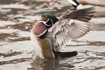 Male Wood Duck in early February.