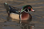 Male Wood Duck in late January.