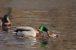 Mallards mating in early February.