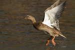 Female Mallard taking flight.