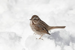 Song Sparrow in snow in mid February.