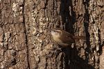 Carolina Wren visits a tree trunk spread with a no-melt suet mix.
