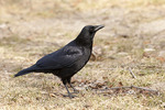 American Crow in early February.