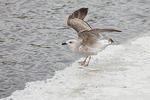 First winter Great Black-backed Gull stretches its wings on the ice at the Reservoir in mid February.