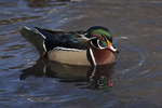 Male Wood Duck in mid February.
