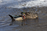 Male Wood Duck with a female Mallard (Anas platyrhynchos) that he is courting.