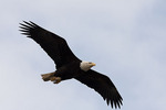 Bald Eagle in flight in early March.