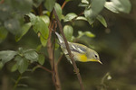 First fall female Northern Parula in mid-September on fall migration.