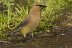 a Cedar Waxwing comes down for a drink in August.