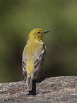 Adult Male Pine Warbler perched on rock in early April.