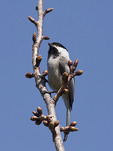 Black-capped Chickadee in early April. New York Botanical Garden. Bronx, NY.