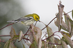 Adult female Black-throated Green Warbler in late September on fall migration.