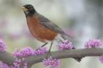 Male American Robin perched in blooming Eastern Redbud (Cercis canadensis) in mid April.