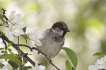 Male House Sparrow perched in flowering crab apple (Crataegus sp.)in mid April.