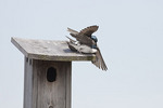 Tree Swallows fight over nest box in mid April.