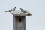 Tree Swallows argue over nest box in mid April.  