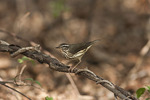 Louisiana Waterthrush on spring migration in early April.