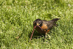 Male American Robin pulls an earthworm out of the ground in April.