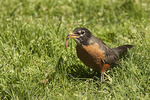 Male American Robin eating earthworm in April.