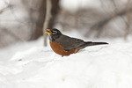 Male American Robin in snow in mid February.