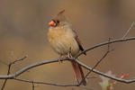 Female Northern Cardinal in mid November.