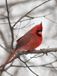 Male Northern Cardinal in mid February.