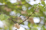 Male Cerulean Warbler on spring migration in early May.