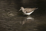Solitary Sandpiper in early May on spring migration.